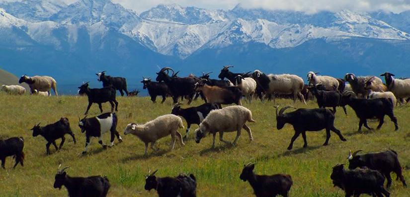 Livestock-1